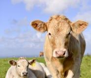 Vaca de las tierras de labrantío Fotografía de archivo libre de regalías