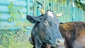Vaca de leche clásica en el pasto Acobarde la consumición de la hierba en el contexto de la cerca cubierto en moscas Animal del c almacen de video