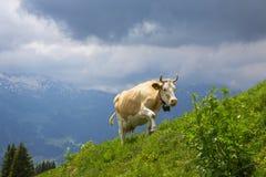 Vaca de leche de Brown en un prado de la hierba y de los wildflowers en las montañas Foto de archivo libre de regalías