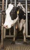 Vaca de leche en el ordeño de la parada dentro del granero de la granja lechera Imagen de archivo