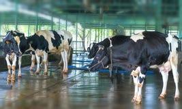 Vaca de leche en la granja, Fotos de archivo libres de regalías