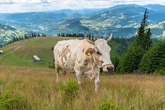 Vaca de leche en la montaña Imágenes de archivo libres de regalías