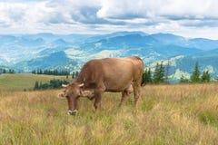 Vaca de leche en la montaña Fotografía de archivo