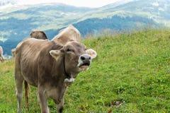 Vaca de leche en tierra de pasto en Baviera Fotos de archivo