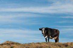 Vaca de leite em um fundo desobstruído foto de stock royalty free