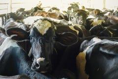 Vaca de leite na exploração agrícola fotos de stock