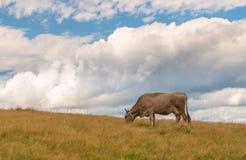 Vaca de leite na montanha Fotografia de Stock