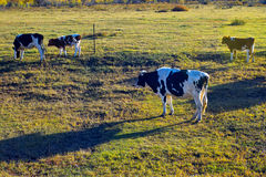 A vaca de leite que está no rancho Imagem de Stock