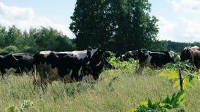 Vaca de leite que pasta Gado da explora??o agr?cola que pasta no campo Feche acima da vaca de leiteria que come a grama no campo video estoque