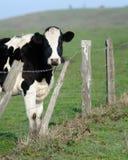Vaca de leiteria Foto de Stock Royalty Free