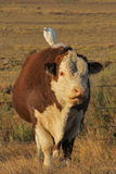Vaca de leiteria Fotografia de Stock