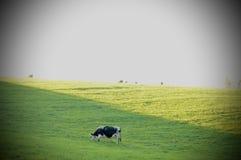 Vaca de leiteria Imagens de Stock