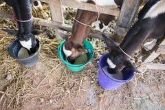 Vaca de leiteria comer grande na exploração agrícola imagem de stock royalty free