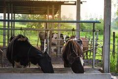 Vaca de leiteria comer grande na exploração agrícola imagens de stock royalty free
