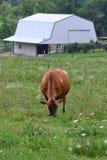 Vaca de leiteria de Brown Fotografia de Stock