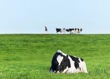 Vaca de leiteria de Holstein que descansa na grama Fotografia de Stock Royalty Free