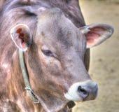 Vaca de leiteria do suíço de Brown Fotografia de Stock Royalty Free