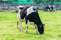 A vaca de leiteria na exploração agrícola acobarda a pastagem em pastos frescos imagem de stock royalty free