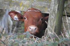 Vaca de leiteria nova foto de stock