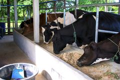 A vaca de leiteria pequena na exploração agrícola fotos de stock