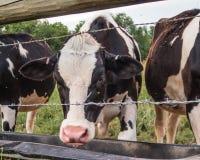 Vaca de leiteria que bebe atrás de uma cerca com fio da farpa em Warwick, NY fotos de stock