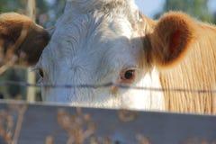 Vaca de leiteria que espreita sobre a cerca Foto de Stock Royalty Free