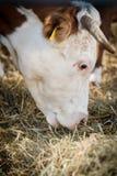 Vaca de leiteria que pasta na palha fotos de stock
