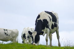 Vaca de leiteria que pasta um prado Imagem de Stock Royalty Free