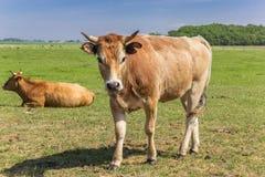 Vaca de Lemosín en el paisaje de la isla de Texel Imagen de archivo