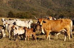 Vaca de los ganados vacunos con los claxones Fotos de archivo libres de regalías