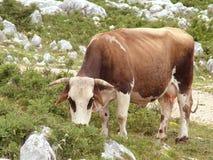 Vaca de los ojos morados Foto de archivo