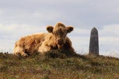 Vaca de Luing que se sienta delante del monumento americano en la isla de Islay, Escocia Foto de archivo