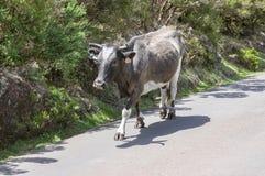 Vaca de Madeira que camina abajo en el camino Imágenes de archivo libres de regalías