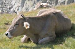 Vaca de mentira foto de archivo libre de regalías