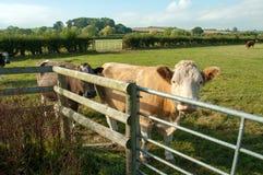 Vaca de mirada curiosa Foto de archivo libre de regalías