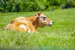 Vaca de Mooing na exploração agrícola durante a mola imagens de stock