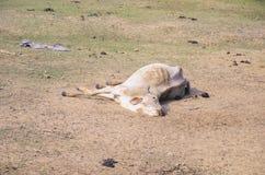 Vaca de muerte que miente en la tierra por una cierta enfermedad imágenes de archivo libres de regalías