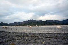 Vaca de Nelore no passeio na montanha de Pinatubo imagem de stock