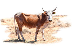 Vaca de Nguni fotografía de archivo