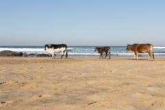 Vaca de Nguni en la playa Fotos de archivo