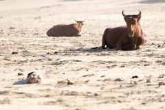 Vaca de Nguni en la playa Imagen de archivo libre de regalías