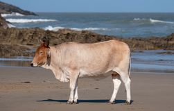 Vaca de Nguni no sol na segunda praia, St Johns portuário na costa selvagem em Transkei, África do Sul S fotos de stock royalty free