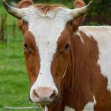 Vaca de observação imagens de stock royalty free