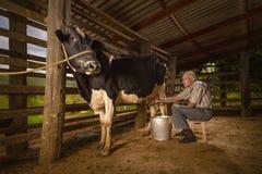Vaca de ordeño fotos de archivo