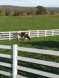 Vaca de outubro Foto de Stock Royalty Free