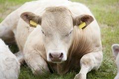 Vaca de reclinación Imágenes de archivo libres de regalías