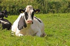 Vaca de reclinación Imagenes de archivo