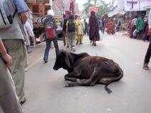 Vaca de reclinación, camello de Pushkar favorablemente, la India Foto de archivo libre de regalías