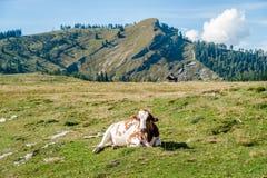 Vaca de reclinación en las montañas Imagen de archivo libre de regalías