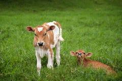 Vaca de Rican da costela imagem de stock royalty free